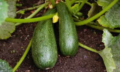 cultivar calabacin 668x400x80xX e1480354668279