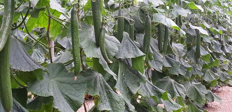 pepin cultivo
