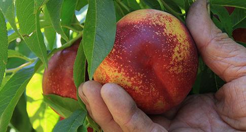 fruta arbol